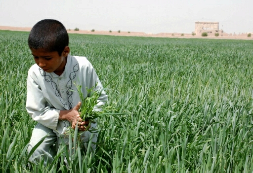 An unidentified Afghan boy clears weeds from a field at Tarnak Farm, near Kandahar Airfield, in the shadow of a former al-Qaida training base, Monday, March 22, 2010. Afghan agriculture officials are calling Canada and the U.S. to bulldoze the ruins of what was once Osama bin Laden's headquarters. THE CANADIAN PRESS/Murray Brewster