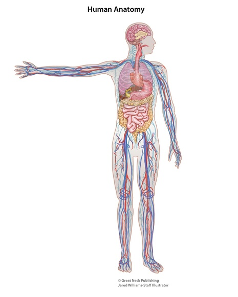 Human Anatomy: Human anatomy is the study and naming of human body parts and systems.