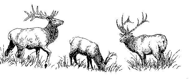 A sketch of some American Elk eating