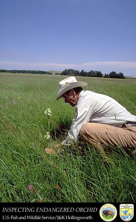A service botanist looks after an endangered Western Prairie Fringed Orchid in Nebraska. Fringed orchids are found in tallgrass prairies, most often in moist habitats or sedge meadows, and require direct sunlight for growth.