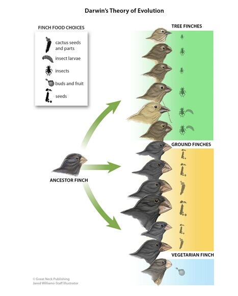 Darwin's Theory of Evolution: Darwin believed that finches' beaks evolved enabling them to survive in different ecosystems on the Galapagos Islands.