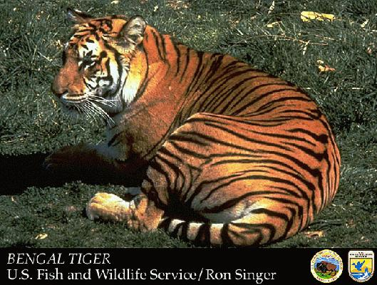There are several tiger species: Siberian, Bengal, Sumatran, China, and Indo-Chinese. All species are listed as endangered on the U.S. Endangered and Threatened Wildlife and Plants List.