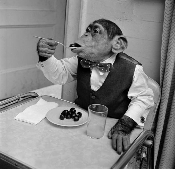 1958:  Young chimpanzee Kokomo Jnr eating cherries with a spoon at his owner's apartment in New York City.  (Photo by Vecchio/Three Lions/Getty Images)  -- Image Date: 1/1/1958  -- Image Date: 1/1/1958
