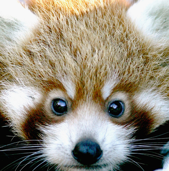 Red Panda Cubs Unveiled At Taronga Zoo: SYDNEY, AUSTRALIA - MARCH 28: