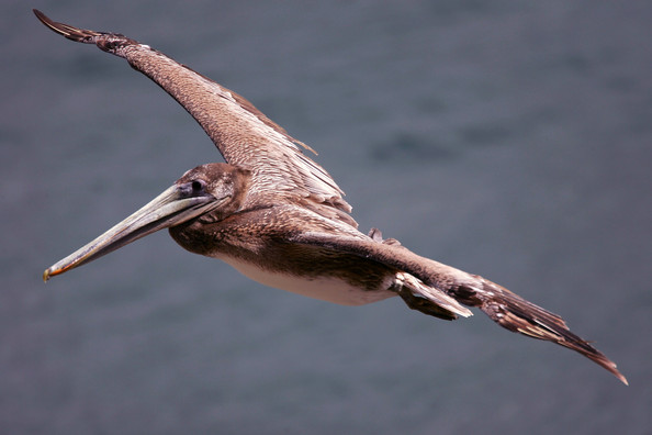 Brown Pelicans Thrive In Wake of DDT Ban And Establishment of Earth Day: LA JOLLA, CA - APRIL 21:  A California brown pelican flies over La Jolla Cove on the eve of Earth Day on April 21, 2007 in La Jolla, California. At the time of the first Earth Day in 1970, California brown pelicans were well on their way to extinction because of the pesticide DDT. The pesticide used on inland farms into was leaching streams and eventually being washed to sea. It moved up the food chain in a process called bio magnification, increasing the concentration of DDT at each step with animals at the top on the food chain receiving the highest dosage. DDT concentrations in California brown pelicans reached as high as 100 parts per million, approximately 1,000,000 times the initial state of the spray when it was used on crops far away from the ocean. The California Brown Pelican was put on the federal Endangered Species list by the Environmental Protection Agency (EPA) and in 1972; DDT was banned throughout the US. Although still listed as endangered and under the protection of the Endangered Species Act, the California brown pelican has made a slow recovery to an estimated population of 8,000 breeding pairs so far and is commonly seen along much of the California coastline. The eastern variety was removed from the endangered list in 2001.    (Photo by David McNew/Getty Images)