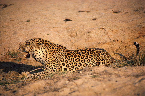Leopards lying down and snarling  -- Image Date: 11/09/2000  -- Image Date: 11/09/2000