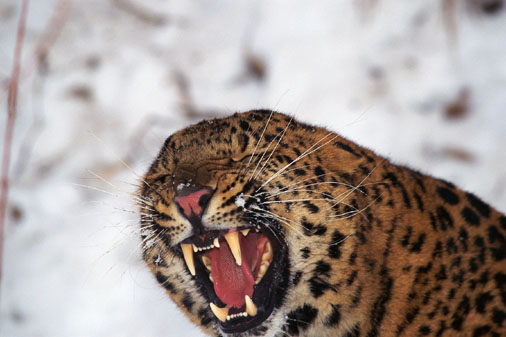Close-up of amur leopard snarling  -- Image Date: 11/09/2000  -- Image Date: 11/09/2000