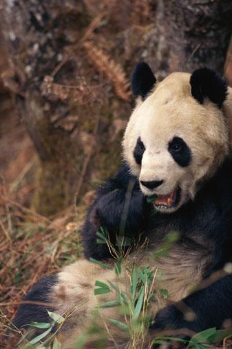 Giant panda eating  -- Image Date: 11/09/2000  -- Image Date: 11/09/2000