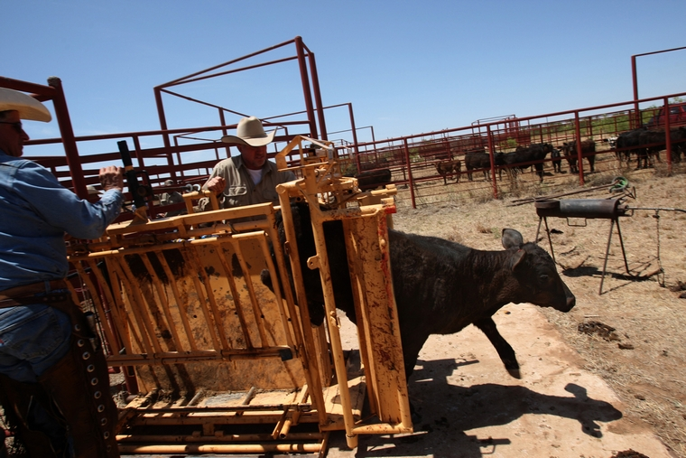Research has shown that raising animals, cows in particular, for meat is a major factor in global warming because the animals produce high greenhouse gas emissions and require massive amounts of water. (Genaro Molina/Los Angeles Times/TNS)