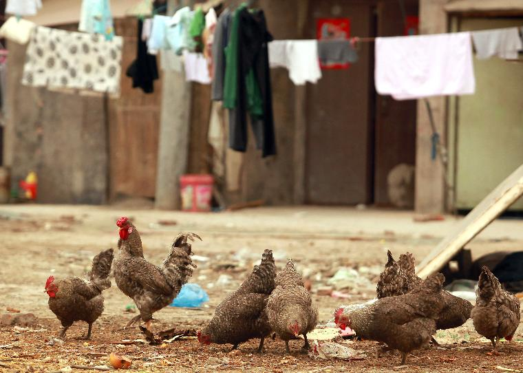 Chickens feed on trash in Beijing: Chickens feed on trash outside a low-income housing area on the outskirts of Beijing on April 19, 2013.  Health officials from the World Health Organization raised further questions on Friday about the source of a new strain of bird flu H7N9 infecting humans in China after the data indicated that more than half of patients had no contact with poultry.    UPI/Stephen shaver