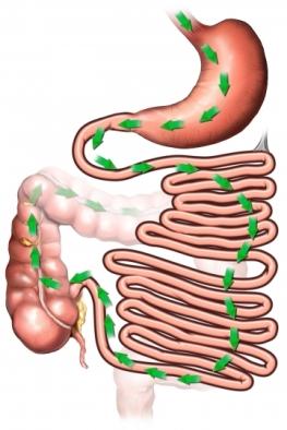 Digestive pathway