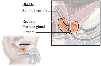 Anatomy of the Prostate Gland