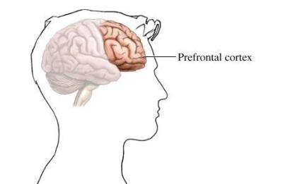 Prefrontal cortex brain