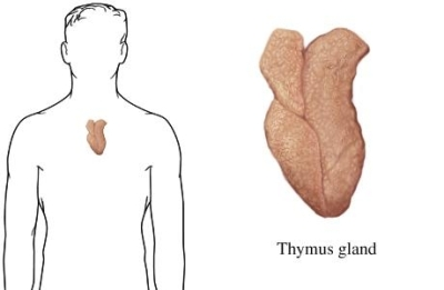 si2141 97870 1 thymus gland