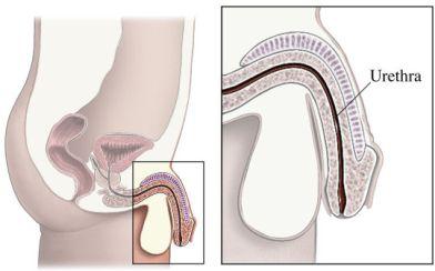 si55550234 male urethra