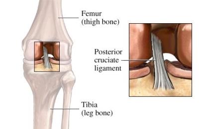 si55550644 97870 1 Posterior Cruciate Ligament
