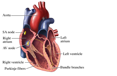 Heartbeat: Anatomy of the Heart