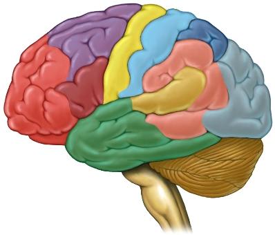 Colored brain segments