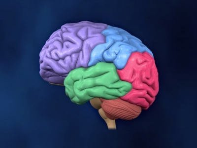 Color coded brain