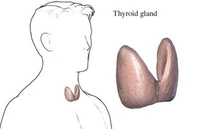 thyroid gland male