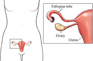 Fallopian Tube, Ovary, and Uterus